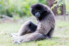 Erwachsener weißer übergebener Gibbon Stockfotos