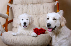 Erwachsener weißer Hund und ihr Welpe Weißer Retriever Stockfotos