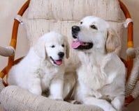 Erwachsener weißer Hund und ihr Welpe Weißer Retriever Mamma und Tochter Lizenzfreies Stockbild