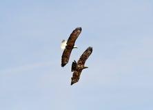 Erwachsener Weißkopfseeadler, der einen Jugendlichen jagt Lizenzfreie Stockbilder