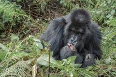 Erwachsener weiblicher Berggorilla, der die Füße eines Babyberggorillas streichelt stockfoto