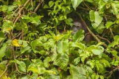 Erwachsener wilder Orang-Utan, der hinter Feigenblättern sich versteckt Lizenzfreies Stockfoto