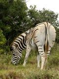 Erwachsener Zebra Lizenzfreie Stockfotografie