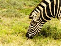 Erwachsener Zebra-Kopf Lizenzfreie Stockbilder