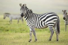 Erwachsenergemeiner Zebra, Ngorongoro Krater, Tanzania Stockfoto