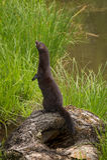 Erwachsenes Amerikaner-Mink Neovison-vison hält nach links stand Stockfoto