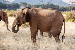 Erwachsenes beschäftigtes Weiden lassen des afrikanischen Elefanten im Busch stockfoto