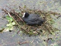 Erwachsenes Blässhuhn, das in ihrem Nest stillsteht Lizenzfreies Stockfoto