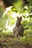 Erwachsenes Brown Bunny Rabbit Sitting in Forest Preserve Field an der Aufmerksamkeit Lizenzfreie Stockfotografie