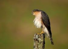 Erwachsenes Eurasier Sparrowhawk-Accipiter nisus Stockfoto