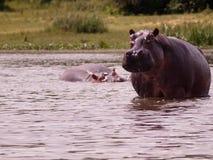 Erwachsenes Flusspferd, das im Wasser steht Stockfotos