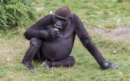 Erwachsenes Gorillaessen Stockbild