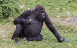 Erwachsenes Gorillaessen Stockfoto