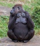 Erwachsenes Gorillaessen Stockbilder