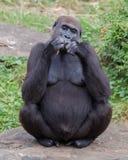 Erwachsenes Gorillaessen Lizenzfreie Stockfotografie