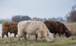 Erwachsenes Hochlandvieh Drei mehrfarbiges gehörntes Hochland-Vieh, das auf dem Gras nahe dem Teich weiden lässt Weiß und Brown-V Stockbild