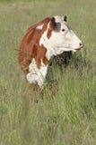 Erwachsenes Holstein auf kanadischem Bauernhof Stockfotografie