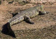 Erwachsenes Krokodil, das in der Hitze des Sun sich aalt Lizenzfreie Stockfotos
