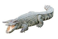 Erwachsenes Krokodil des Süßwassers von Thailand Stockfotografie