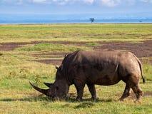 Erwachsenes Nashorn, das auf die Savanne geht Stockfotografie