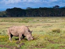 Erwachsenes Nashorn, das Gras isst Stockbilder