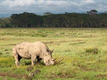 Erwachsenes Nashorn mit zwei großen Hörnern, die auf einem Gebiet mit Blumen auf einem Hintergrund von Bäumen weiden lassen und b Lizenzfreie Stockfotos