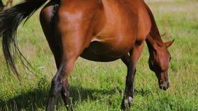 Erwachsenes Pferd und Fohlen, die auf grasartiger Wiese weiden lässt stock video