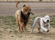 Erwachsenes pitbull, das mit einem Welpen spielt Lizenzfreies Stockbild