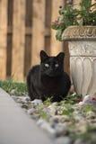 Erwachsenes schwarzes inländisches kurzes Haar Feral Stray Cat Sitting in den Felsen durch Topfpflanze im Hinterhof Lizenzfreie Stockfotografie