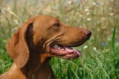 Erwachsenes Vizsla Hundeportrait Stockbild