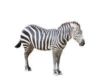 Erwachsenes Zebra auf Weiß Lizenzfreie Stockfotos