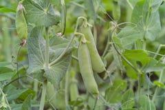 Erwten in peulen, plantaardig flard, Pisum sativum L convar, Beieren, Duitsland, Europa royalty-vrije stock foto