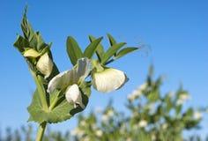 Erwtenbloemen Royalty-vrije Stock Afbeeldingen