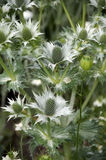 Eryngium Stock Photo