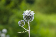 Eryngium Stock Photography