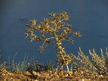 Eryngium стоковая фотография rf