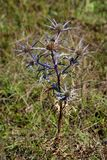 Eryngium amethystinum or Amethyst sea holly clump-forming perennial tap-rooted herb with silvery blue bracts and branching stems. Eryngium amethystinum or stock photography