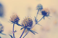 Eryngium amethystinum Royalty Free Stock Photos