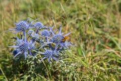 Eryngium amethystinum L. stock image