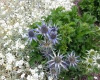 Eryngium amethystinum Sea Holly royalty free stock image