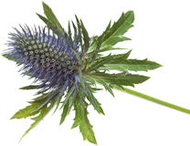 Eryngium Royalty Free Stock Photography