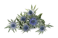 Eryngium Royalty Free Stock Images