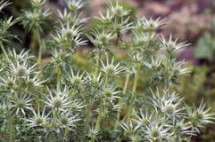 Eryngium bourgatii zielny odwiecznie dorośnięcie kwitnie, spiny kwiatonośna roślina fotografia stock