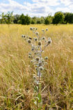 Eryngium campestre Flowers Stock Photo