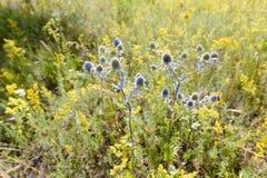 Eryngium campestre Flowers Stock Photography