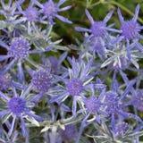 Eryngium chabeta mróz Fotografia Royalty Free