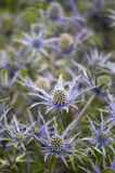 Eryngium 'cobalt star' Royalty Free Stock Photo
