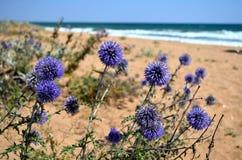 Eryngium - flores Fotografia de Stock Royalty Free
