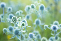 Eryngium Royalty Free Stock Image