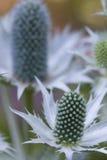 Eryngium giganteum stock photography
